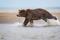She had already caught several large silver salmon.  Shared them with her two spring cubs.  She was sitting on her haunches on the exposed sand bank.  The tide was starting to come back in.  The Brown Bear yawned and rested her eyes.  We thought the fishing time was done.  We thought she was going down for a nap.  Good think we didn't relax. Here she sprang into action with lightning quickness, running down an unfortunate salmon that splashed too close to her perch.