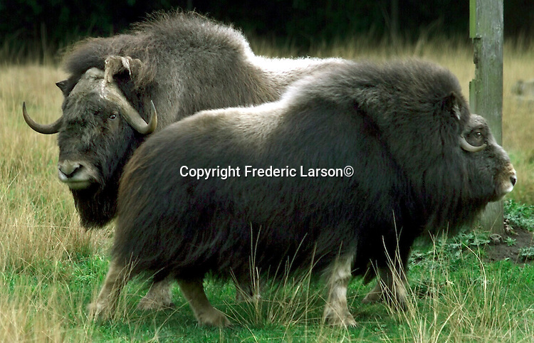 Two of the White Fronted Musk Ox at the San Francisco Zoo where donated to Hemker Wildlife Park in Freeport Minn.  A couple of White Fronted Musk Ox at the San Francisco Zoo where donated to Hemker Wildlife Park in Freeport Minnesota.