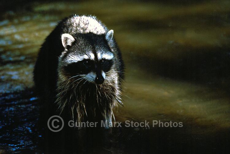 Wild Raccoon (Procyon lotor) wading in Water