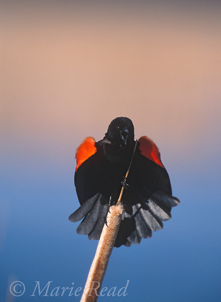 Red-winged Blackbird (Agelaius phoeniceus) male calling and displaying, perched on cattail seedhead, Montezuma National Wildlife Refuge, New York, USA<br /> B163-567