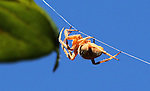 This is the Arboreal Orbweaver (Neoscona crucifera Lucas) a common midwest webspinning spider.  Here, the spider crawls up one of the support lines to a tree to hide after it was disturbed. Their webs have the classic spoked and rounded shape, usually placed between bushes or trees to catch small flying insects.  This web was about three feet in diameter, and was about nine feet above the ground, in the photographer's back yard suspended between two trees.  There are many varieties of spiders that spin webs, both the orb-type and others which seem to be just a tangled mess of spider silk.  Some of the strands are for support, and are not sticky, while those in the center of the web are sticky to trap insects.