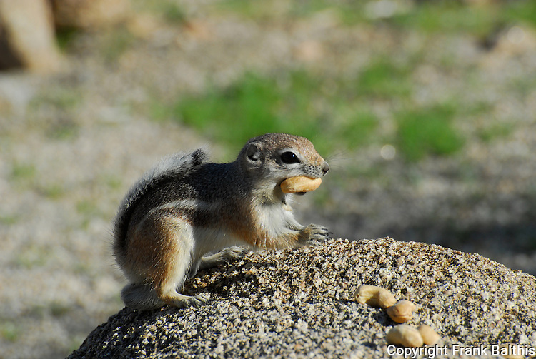 white-tailed antelope squirrel with nut