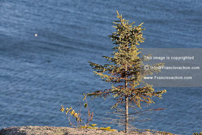 A lone fir is pictured growing between rocks in the rocky seashore of the St. Lawrence river in the Essipit Innu community in the Quebec region of Cote-Nord Thursday October 11, 2012.