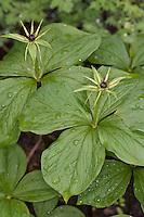 Vierblättrige Einbeere, Blüte, Paris quadrifolia, Herb Paris, Herb-Paris