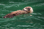 USA, Alaska, Glacier Bay National Park , sea otter (Enhydra lutris)