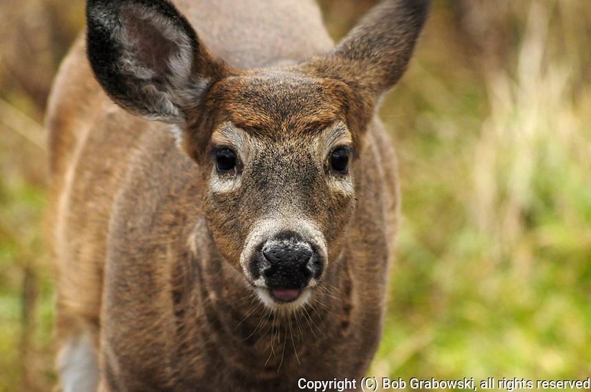 Headshot of a Whitetail Deer, Odocoileus virginianus, at the Five Rivers Enviromental Center in Delmar, New York