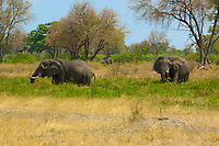 African Elephants grazing in the Okavango Delta, Botswana Africa.