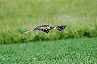 Close-up of red kite in flight over a grassy field