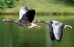 A couple of geese at Olympia park in Munich, July 30, 2008. (ALTERPHOTOS/Alvaro Hernandez)