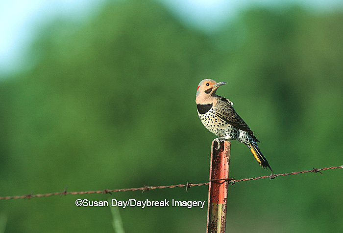 01193-00814 Northern Flicker (Colaptes auratus) male on fence post   IL