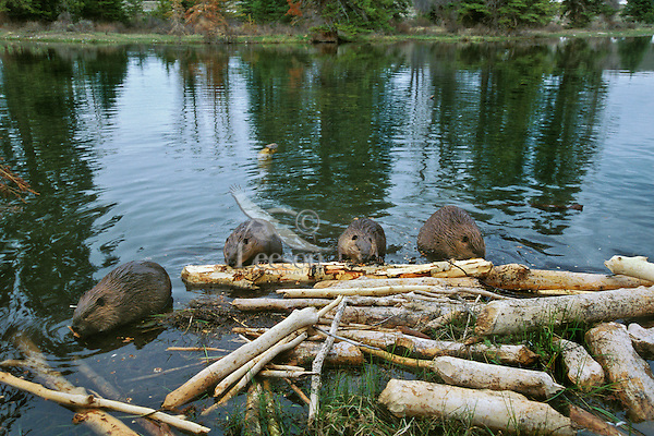 North American Beavers (Castor canadensis) eating at a frequent feeding station in their pond.  This is a location where the beaver often come and chew the bark off limbs for food.  Western U.S., spring.