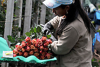 FACATATIVA - COLOMBIA- 29-01-2014: Llega febrero y los floricultores colombianos tienen la gran oportunidad de iniciar el año con el pie derecho gracias al día de San Valentín que es por excelencia el día de los enamorados en Estados Unidos y Europa. Por estos días en Elite Flowers en la Sabana de Bogotá trabajan a todo marcha para surtir el mercado, para este año en el cual esperan incrementar sus ventas en 12% respecto al año anterior. February is coming and colombian growers have a big opportunity to start this year so well thanks to the quintessential Valentine's Day in USA and Europe. For these days in Elite Flowers in the Sabana of Bogota flowers plantations are working full time to fill the market for this year and increase their sales by 12% compared to last year. Photos: VizzorImage / Luis Ramírez / Staff.