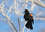 Red-winged Blackbird (Agelaius phoeniceus) male displaying amid frost-covered branches, April, Ithaca, New York, USA