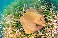 southern stingray, Dasyatis americara, swimming over seagrasses meadow of turtlegrasses, Thalassia testudinum, in shallow flats, Stiltsville, Biscayne National Park, Miami, Florida, USA, Caribbean Sea, Atlantic Ocean