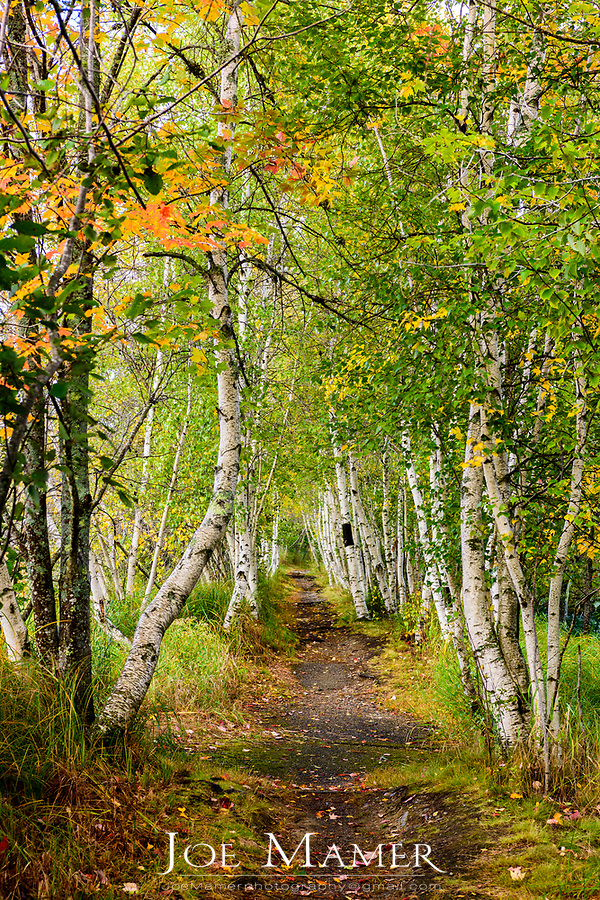 Walking path through birch trees in Sieur de Monts at Acadia National Park.