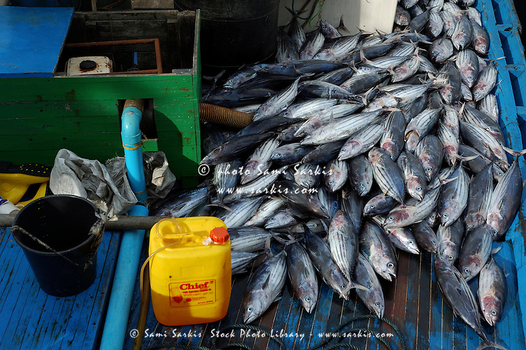 Freshly caught tuna piled on the deck of a fishing boat, Maldives.