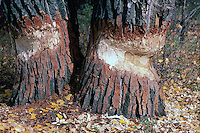 Bite and Teeth Marks on Black Cottonwood Trees (Populus trichocarpa) from Beaver (Castor canadensis) - chewing, cutting down, chopping