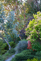 "Arbutus menziesii, Pacific madrone or madrona with Eucalyptus glaucescens and golden smoke bush Cotinus coggygria ""Golden Spirit'; Albers Vista Gardens"
