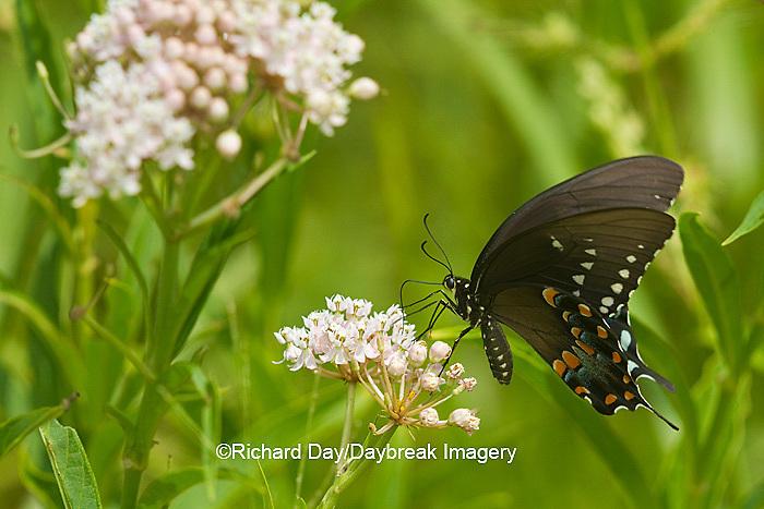 03029-01410 Spicebush Swallowtail butterfly (Papilio troilus) on Swamp Milkweed (Asclepias incarnata) Marion Co., IL