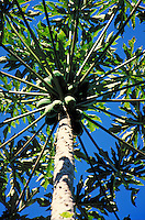 Papaya Tree. fruit, food, agriculture, crops. Oahu Hawaii.