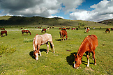 USA, Wyoming, Encampment, horses graze in a pasture under white puffy clouds, AbarA Ranch