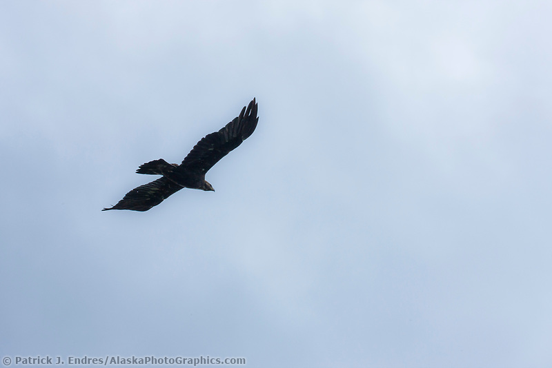 Golden Eagle soars in Denali National Park, Interior, Alaska.