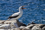 Male Nazca Booby, with its orange-red beak wide open, vocalizes as it stands on the rocky, ocean shore of the South Plaza, Santa Cruz Island, in the Galapagos Islands.