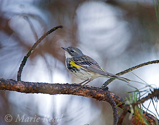 "Yellow-rumped Warbler (Dendroica coronata) female, New York, USA (""Myrtle"" race)"