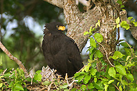 541710146 a wild common black hawk buteogallus anthracinus a raptor that is actually dark brown in color looks out from its nest in a tall ebony tree in tamaulipas state mexico