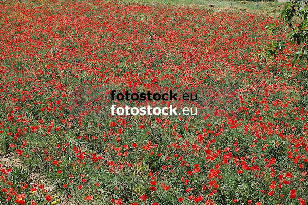 Field of corn poppies in Majorca<br /> <br /> campo de amapolas en Mallorca<br /> <br /> Mohnblumenfeld auf Mallorca<br /> <br /> 3008 x 2000 px<br /> 150 dpi: 50,94 x 33,87 cm<br /> 300 dpi: 25,47 x 16,93 cm