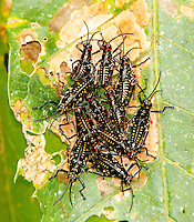 Grasshopper nymphs; Chromacris; Buenaventura Reserve; Ecuador, Prov. El Oro