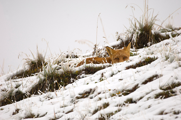 A red fox crouches in the snow-covered tundra in Denali National Park, Alaska.