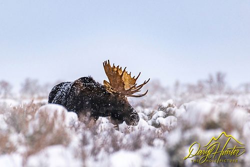 December Moose, december is a great time to photograph the moose, the snow adds an empathy impact and the bull moose still have their antlers
