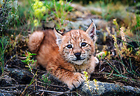 Lynx kitten resting in rocky meadow