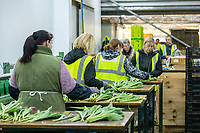 Migrant labour working on a tulip processing line - Lincolnshire, February
