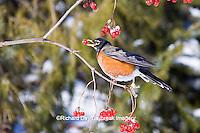 01382-04918 American Robin (Turdus migratorius) eating berry of American Cranberry Viburnum (Viburnum trilobum) in winter, Marion Co., IL