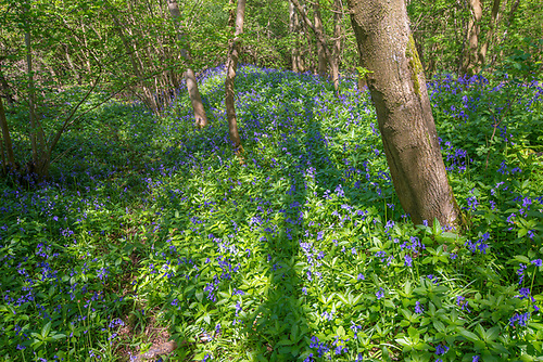 Ancient woodland boundary covered in Bluebells, Stoke Woods, Bicester, Oxfordshire owned by the Woodland Trust