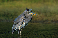 548100332 a wild great blue heron stands in a small pond in the rio grande valley of south texas united states