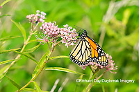 03536-06020 Monarch (Danaus plexippus) on Swamp Milkweed (Asclepias incarnata) Marion Co. IL