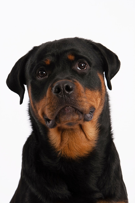 Slim Rottweiler dog in head and shoulders shot with slight head tilt