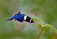 Small Blue Grecian butterfly(Heliconius sara). Portland Zoo butterfly garden. Oregon