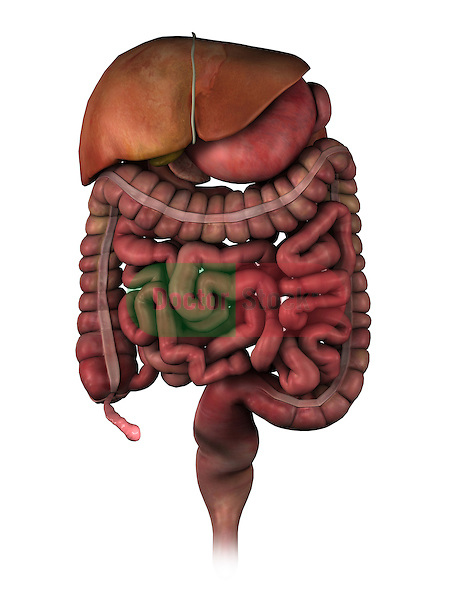 Abdominal Contents with an Enlarged Appendix; this 3d medical image features a detailed view of the abdominal contents including a stomach,