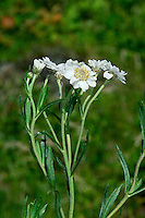 SNEEZEWORT Achillea ptarmica (Asteraceae) Height to 60cm<br /> Upright and branched or unbranched perennial with stiff, angular stems, the upper parts of which are downy. Grows in damp situations in meadows, and woodland rides and clearings, almost always on acid soils. FLOWERS are borne in heads, 1-2cm across, comprising greenish yellow disc florets and white ray florets; heads are carried in open clusters (Jul-Sep). FRUITS are achenes. LEAVES are narrow, undivided, untoothed and stalkless. STATUS-Locally common throughout the region.