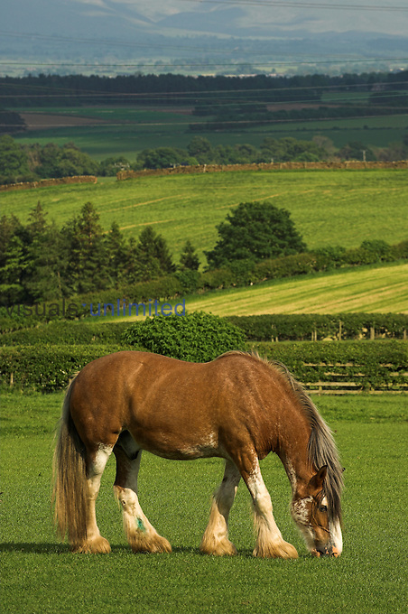 Heavy horse grazing in field.
