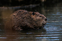 Canadian beaver back in Sonora Mexico
