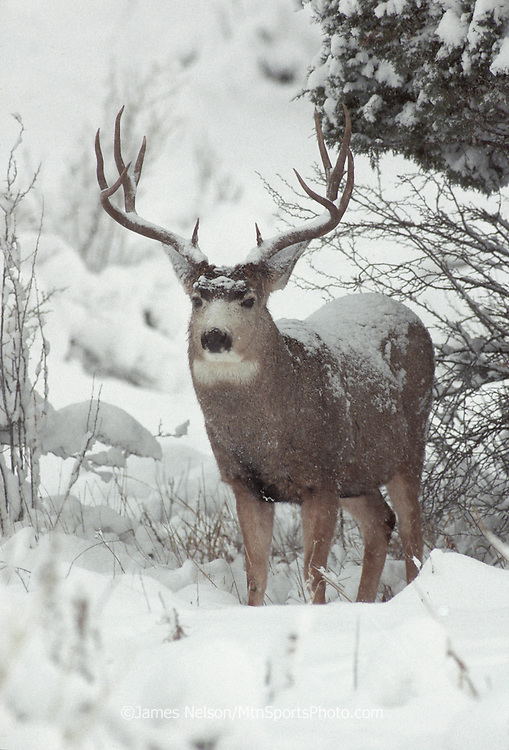 12-1322. A mule deer buck during a snowstorm in New Mexico.