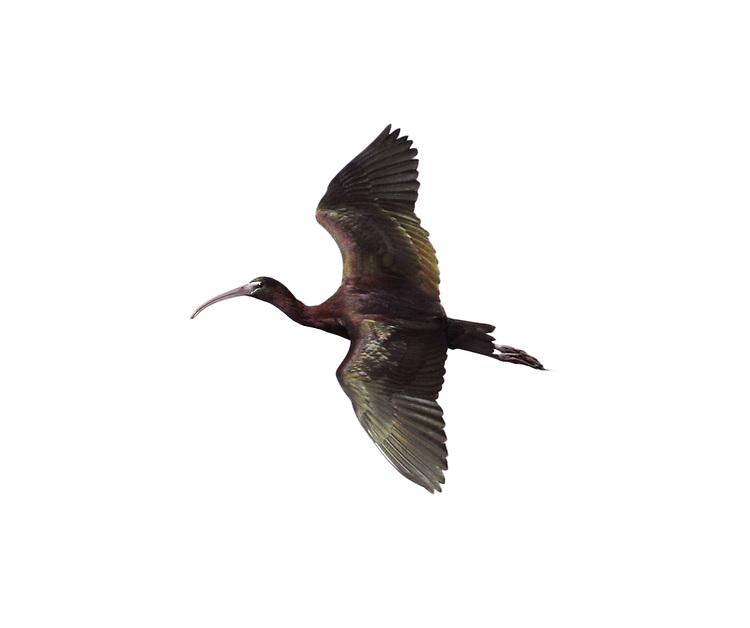 Glossy Ibis - Plegadis falcinellus - adult.  L 55-65cm. Wetland bird with heron-like proportions and Curlew-like bill. Maroon and metallic plumage is only obvious in good light. Breeds in S Europe and winters mainly in Africa. Occasional visitors here are often long-stayers.