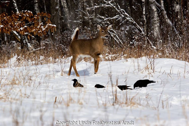 White-tailed deer (Odocoileus virginianus) stomping his foot at some ravens.  Winter,  WI.