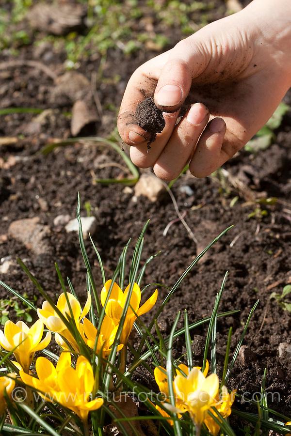 Fingerprobe, Bodenprobe, Erde, Boden im Garten wird untersucht, Gartenerde, Erde wird zwischen den Fingern zerrieben, um die Körnigkeit und den Sandanteil zu prüfen, Gartenarbeit