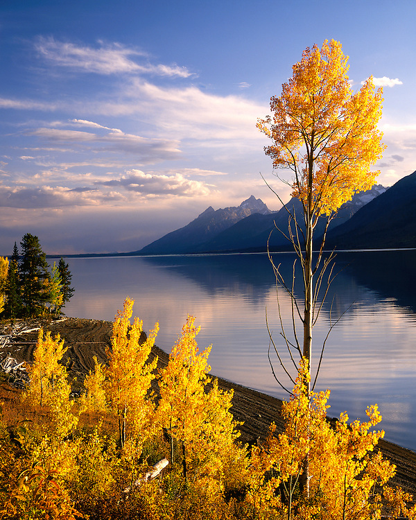 Aspen trees in fall color along Jackson Lake; Grand Teton National Park, WY